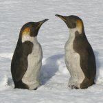 Lesley McKenzie_Emperor penguin_Raku_395_35cms